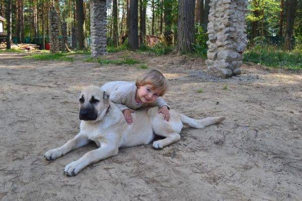 Gampra (Armenian Wolfhound) with a child