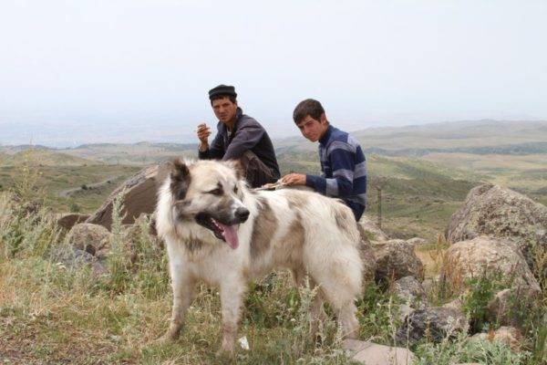 Gampra (Armenian wolfhound) in the mountains
