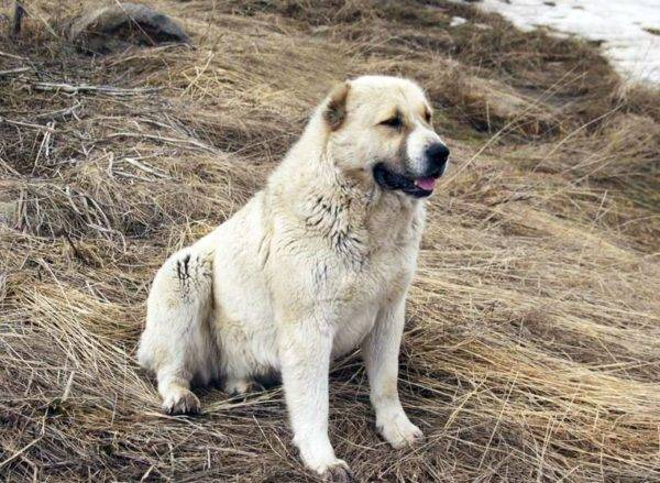 Gampra (Armenian Wolfhound) read article