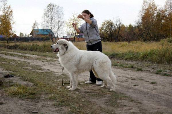 Pyrenean mountain dog in the country