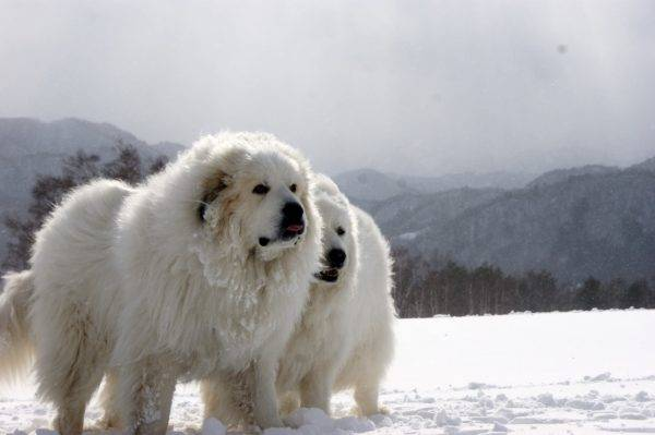 Pyrenean Mountain Dog read the article