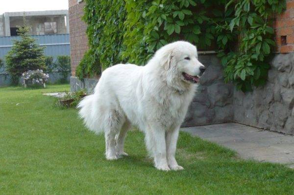 Pyrenean mountain dog on the grass