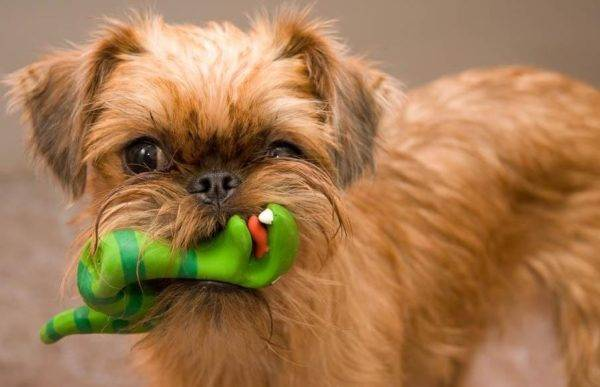 Brussels Griffon with a toy
