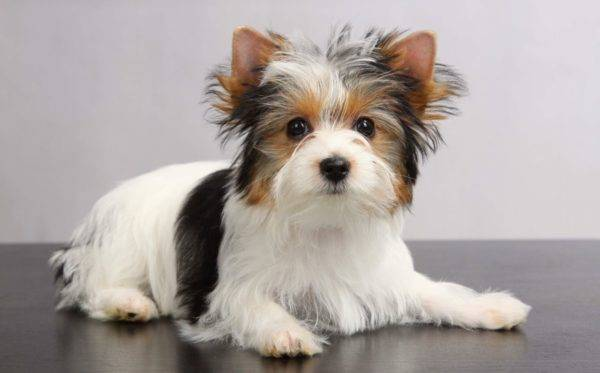 Biver Yorkshire Terrier read the article