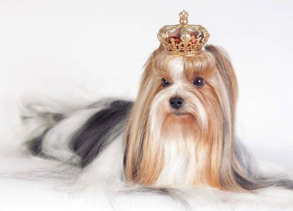 Biver yorkshire terrier with a crown