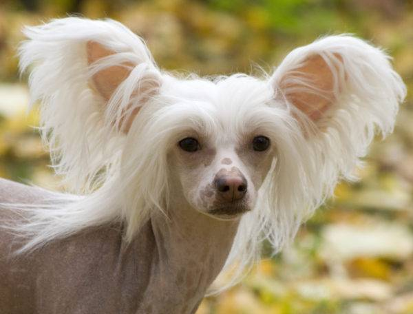 Incredible Chinese Crested