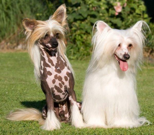 Types of Chinese Crested