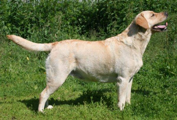 Cream Labrador Retriever