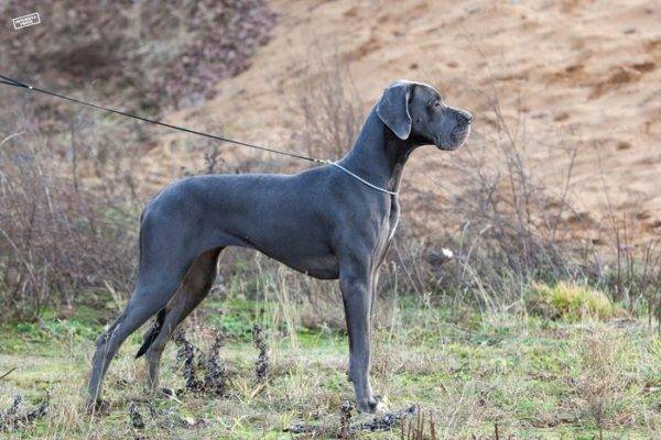 Blue German Mastiff