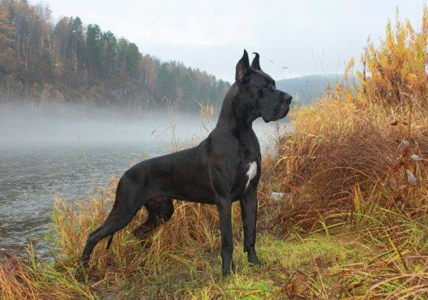 Character of the Great Danes