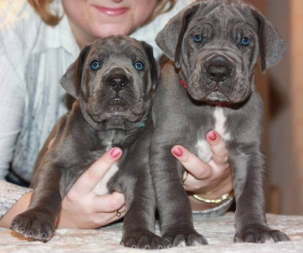 Puppies of the Great Dane