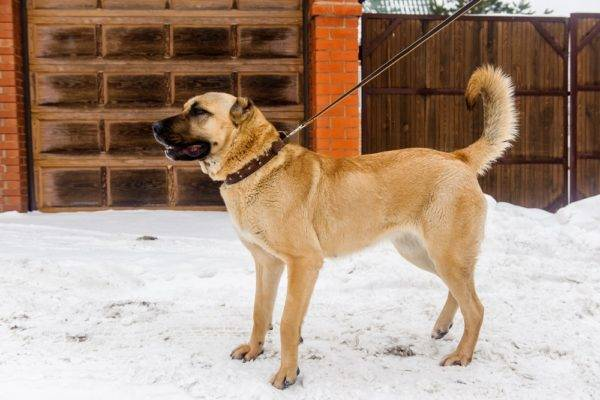 Anatolian Shepherd in the winter