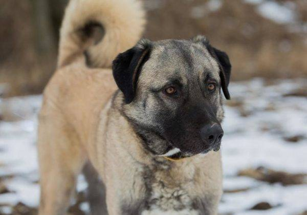 Anatolian Shepherd Dog beautiful photo
