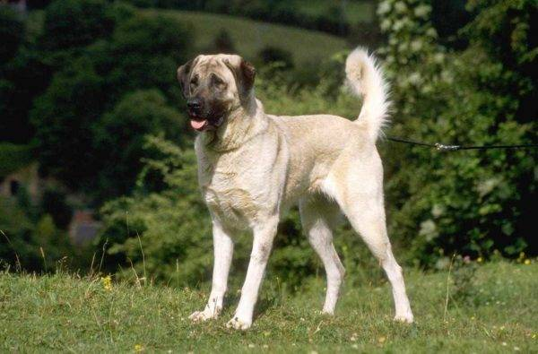 Anatolian Sheepdog breed description