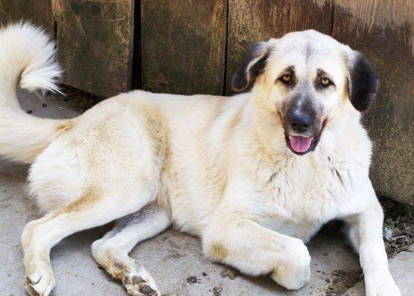 Anatolian Shepherd Dog Read Article