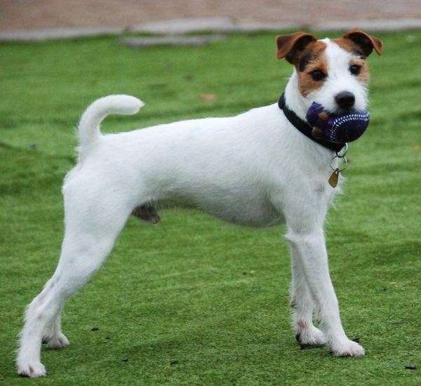 Parson Russell Terrier breed description