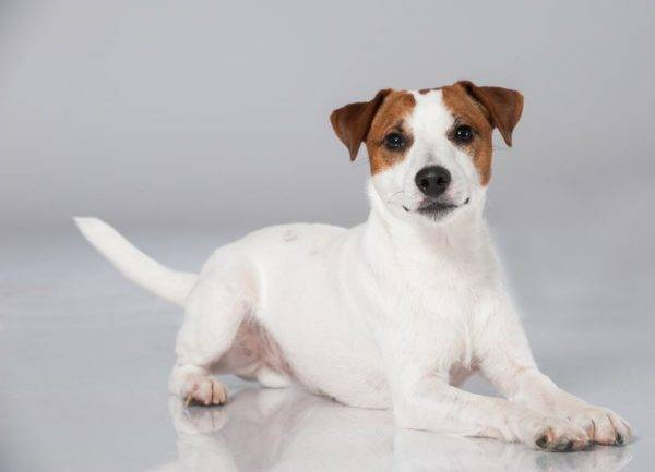 Parson Russell Terrier on a white background