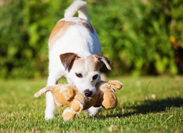 Parson Russell Terrier with a toy