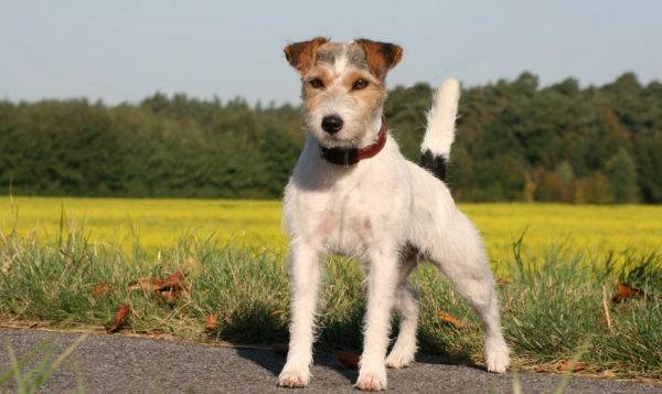 Parson Russell Terrier on the road