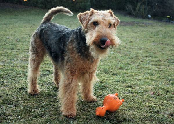 Welsh Terrier with a toy
