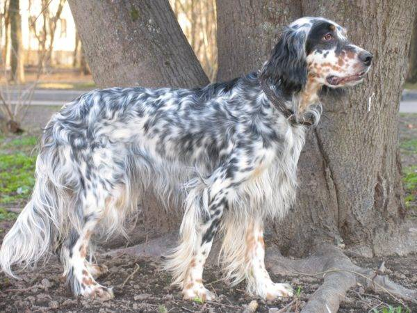 English setter breed description