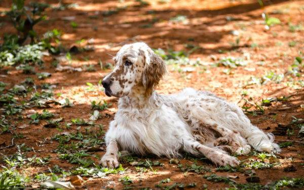 English setter rests