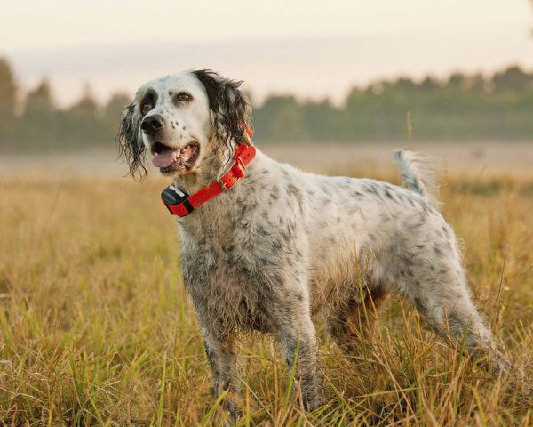 English setter with a red collar