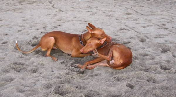 Pharaoh Hound beautiful breed