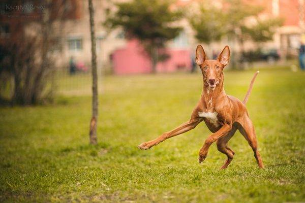 Pharaoh Hound in Nature