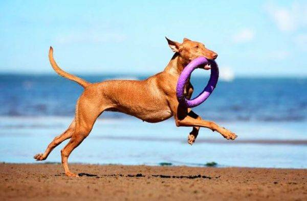 Pharaoh Hound with a toy