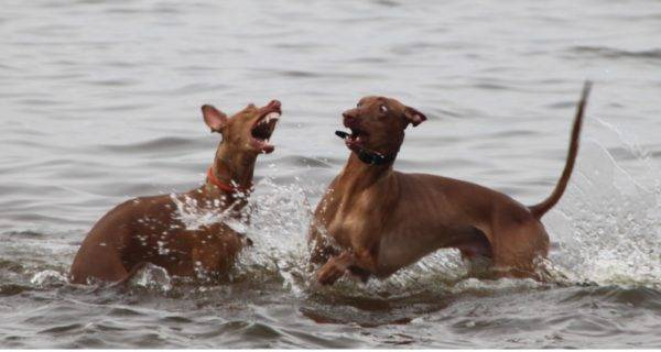 Pharaoh dogs in the water