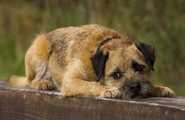 Border terrier sad