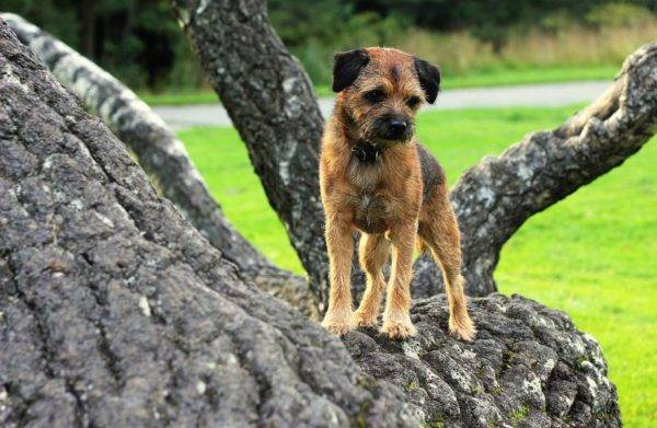 Border terrier on a tree