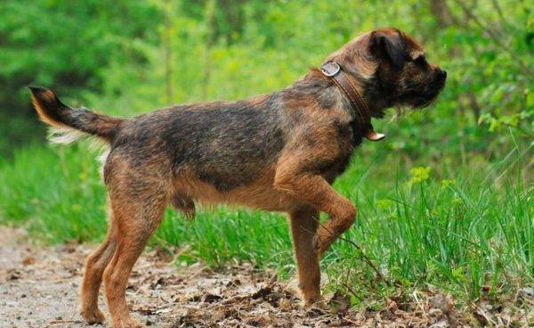 Border terrier description of the breed