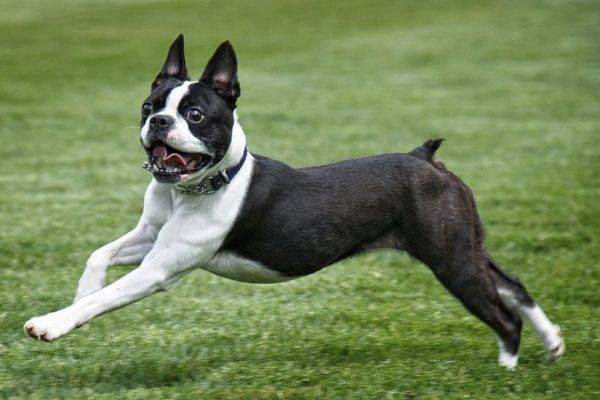 Boston Terrier read the article
