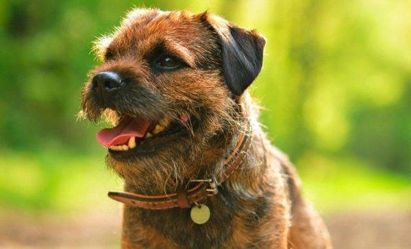 Border terrier read article