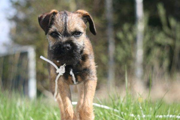 Border terrier steps