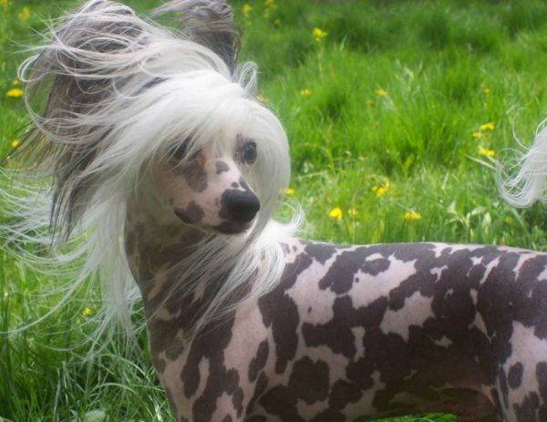 How to care for Chinese crested