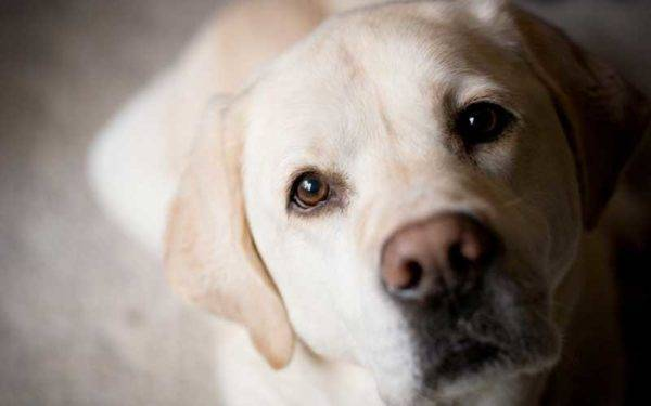 Character traits of Labrador Retrievers