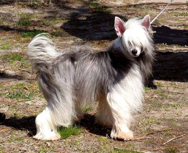 Chinese crested with wool