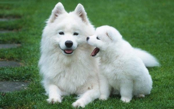 American Eskimo Spitz with a puppy