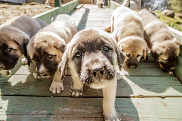 Anatolian Shepherd Dog (puppies)