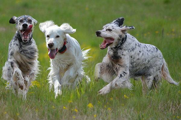 English Setter is an amazing breed
