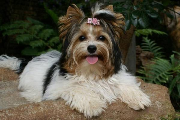 Biver Yorkshire Terrier in nature