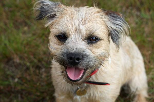 Border terrier looks