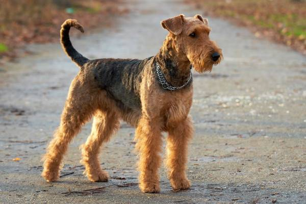 Welch Terrier Read Article