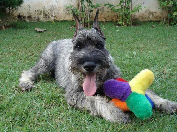 Mittelschnauzer with a toy