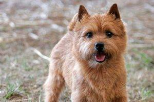 Norwich Terrier read the article