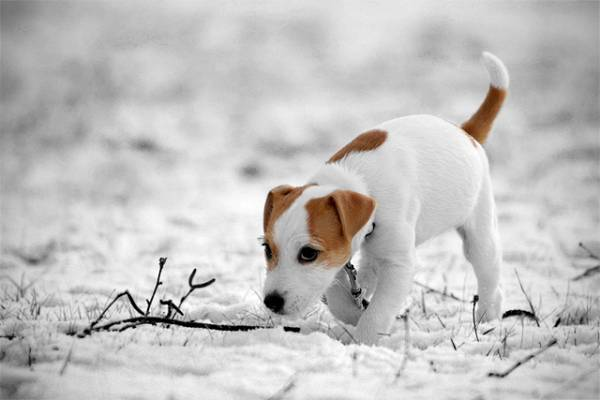 Parson Russell Terrier in winter