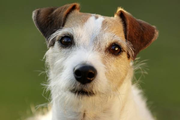 Parson Russell Terrier read the article